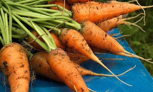 growing carrots in your garden
